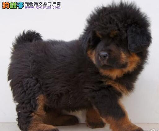 国际注册犬舍 出售极品赛级藏獒幼犬一分价钱一分货