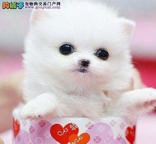 北京韩系纯白博美幼犬 方体爆毛短嘴 终身保纯种健康