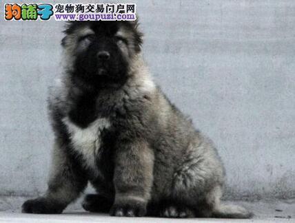 赛级熊版兰州高加索幼犬低价出售 专业繁殖 放心选购1