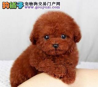 贵阳市出售泰迪犬 包养活 保证纯种健康 签协议 包售后3