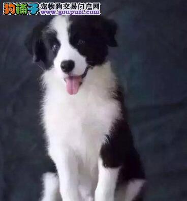 武汉售疫苗驱虫齐全边牧犬 边境牧羊犬幼犬保健康