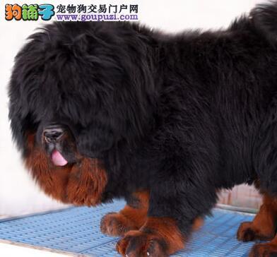 肇庆市出售藏獒幼犬 证书齐全 包纯种健康 签协议保障