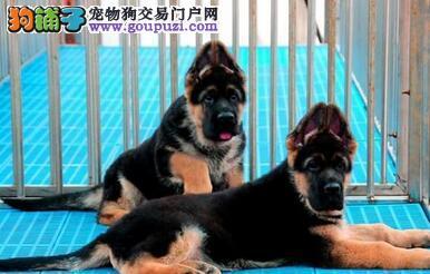 低价转让优秀北京德国牧羊犬 外地可视频看狗可空运