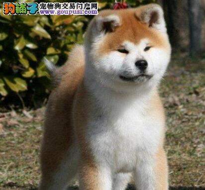 出售纯种健康的兰州秋田犬 当场做检查身体健康