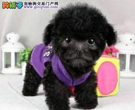 健康品质泰迪犬特价出售 沈阳周边地区购买可送狗用品