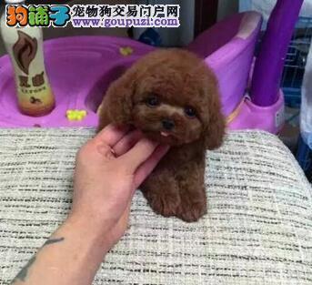 周口市出售贵宾犬 全国发货可见狗父母 免费饲养指导