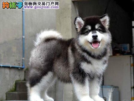 巨型阿拉斯加雪橇犬 红色十字桃脸阿拉斯加犬盘锦有售