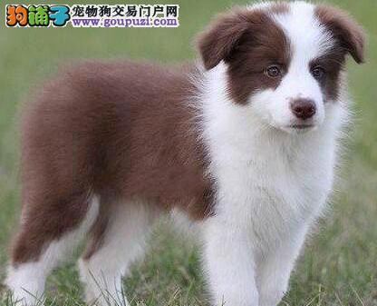如何训练狗狗的衔取?