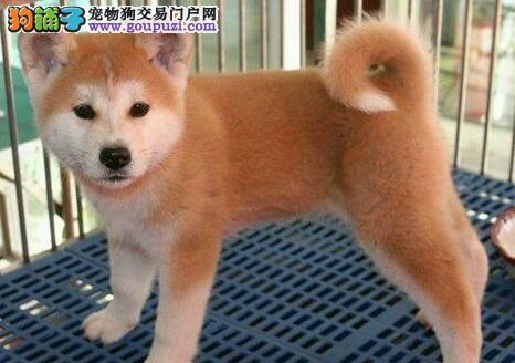 忠犬八公秋田犬西宁出售 绝对的忠诚 绝对的健康