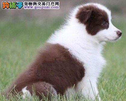 七白全通的广州边境牧羊犬找新主人 终身质保可签协议