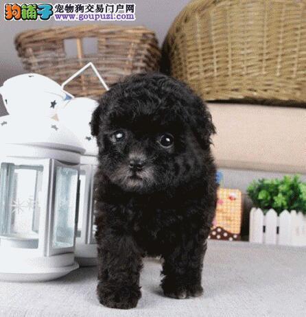 南京出售纯种玩具茶杯泰迪犬南京红贵宾犬价格