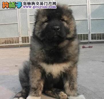 三个月至六个月之间的高加索犬应该如何喂养