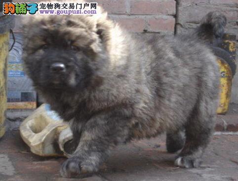 广州哪里买高加索最好广州哪里有卖纯种高加索幼犬