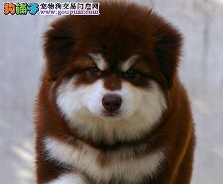 广州自家繁殖大型犬阿拉斯加幼犬支持上门挑选健康纯种