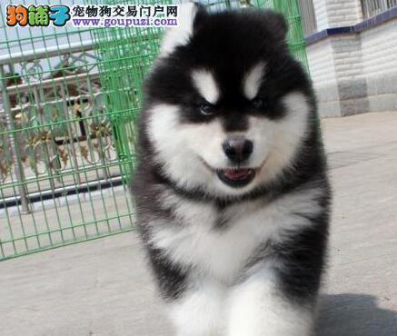 纯种阿拉斯加幼犬,血统纯正,带国际认证血统证书