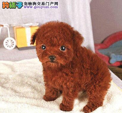脸型完美的东莞泰迪犬低价出售 购买无后顾之忧