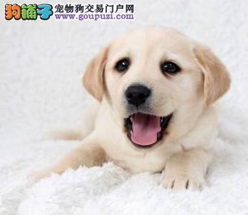 高端拉布拉多幼犬 专业繁殖宝宝健康 签订活体协议