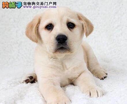 南京最好拉布拉多犬拉拉专卖欢迎前来抱回