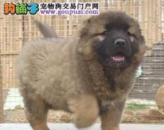 冠军级血系高加索犬南京狗场热卖中 有血统证书