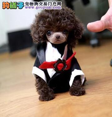 济南基地直销高品质泰迪犬幼犬保健康纯种全国托运