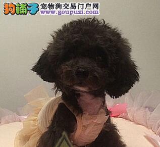 郑州出售标准型牛头梗幼犬宝宝 白色绅士