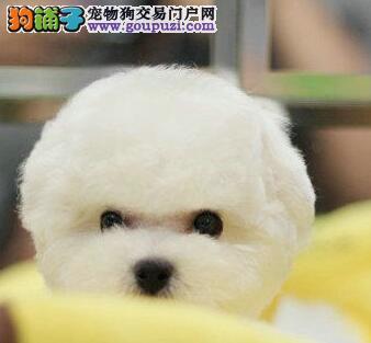 实体店火爆促销精品哈尔滨比熊犬质量保证签购买合同
