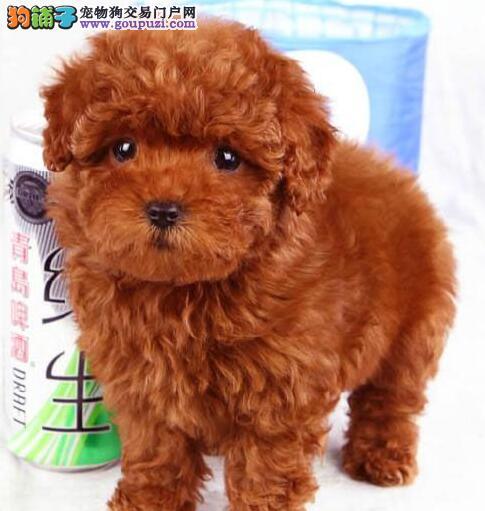 贵阳超小体茶杯泰迪犬 多色可选 口袋泰迪熊 可送货