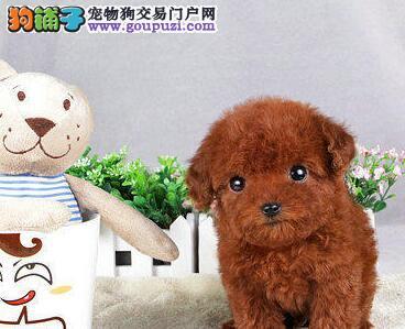 迷你型的小贵宾犬长不大的 卷毛可爱 颜色齐全