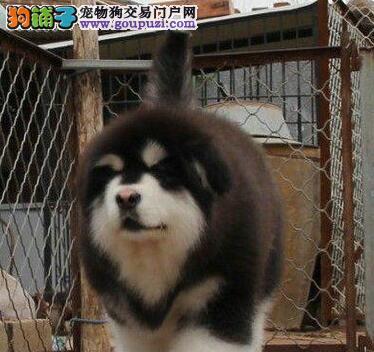 宁波出售纯种赛级十字脸的阿拉斯加,狗狗很健康,可爱