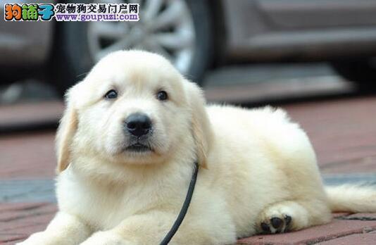 呼和浩特大型犬舍出售金毛犬 可签订活体销售协议