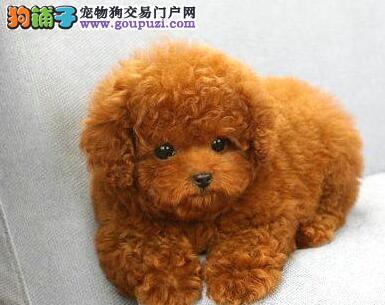 毛色深红的呼和浩特泰迪犬找新家 聪明伶俐乖巧可爱