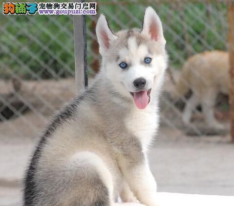 低价出售呼和浩特哈士奇幼犬 可送货到家供您选购