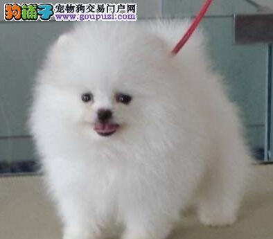 广州狗场低价出售多只博美犬 终生享受我们的医疗服务