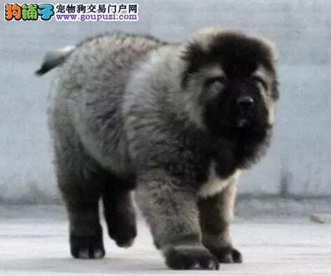 嘉兴猛犬高加索繁殖基地出售优质纯种大骨架熊版高加索
