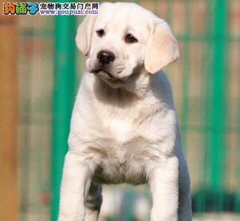 家养极品南昌拉布拉多犬转让公母都有保健康1