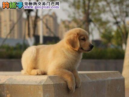 达州家庭式繁殖纯血统金毛犬品相好签协议包健康可检测