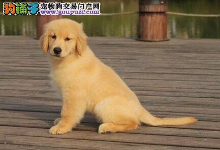 纯种健康邯郸金毛犬特价出售中 欢迎上门挑选保品质1