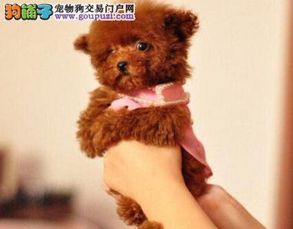 天津俏皮可爱幼崽泰迪熊狗仔出售公母均有疫苗已经做好