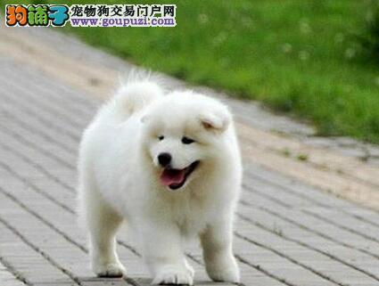 延安出售美版爆毛萨摩耶犬签合同保健康3个月内包退换