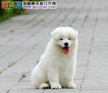 吉林正规狗场专业繁殖萨摩耶出售 上门可看狗父母