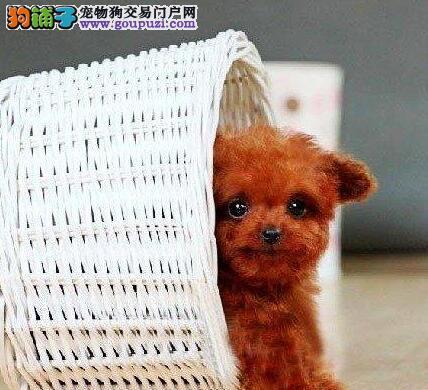 贵阳顶级精品贵宾幼犬 颜色全数量多 聪明伶俐