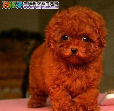咸阳正规狗场犬舍直销泰迪犬幼犬保终身送用品1