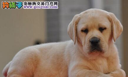 郑州犬舍低价热销 拉布拉多血统纯正签订三包合同2