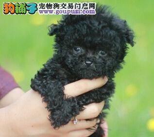 家养极品贵宾犬出售 可见父母颜色齐全期待您的咨询