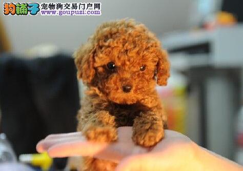 家养纯种玩具体贵宾犬出售贵宾犬多少钱一只送全套用品