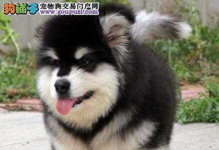 北京市出售巨型啊拉斯加幼犬