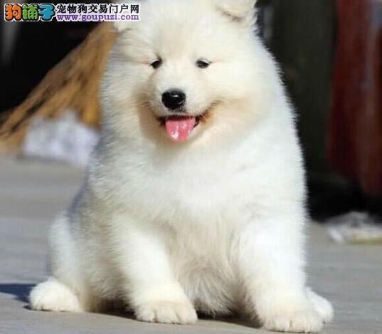 纯种萨摩耶幼犬微笑的天使 铜仁犬舍繁殖 健康有保障