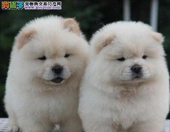 杭州养殖基地出售纯种肉嘴松狮犬 疫苗驱虫已做好