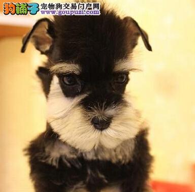 高品质椒盐灰黑雪纳瑞幼犬低价出售 杭州市内可送货1