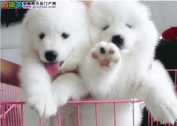 北京售纯种萨摩耶宝宝微笑天使撒手没幼犬公母全有
